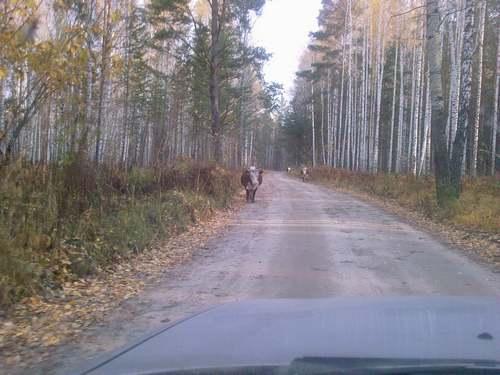 Охота на сибирских полевок